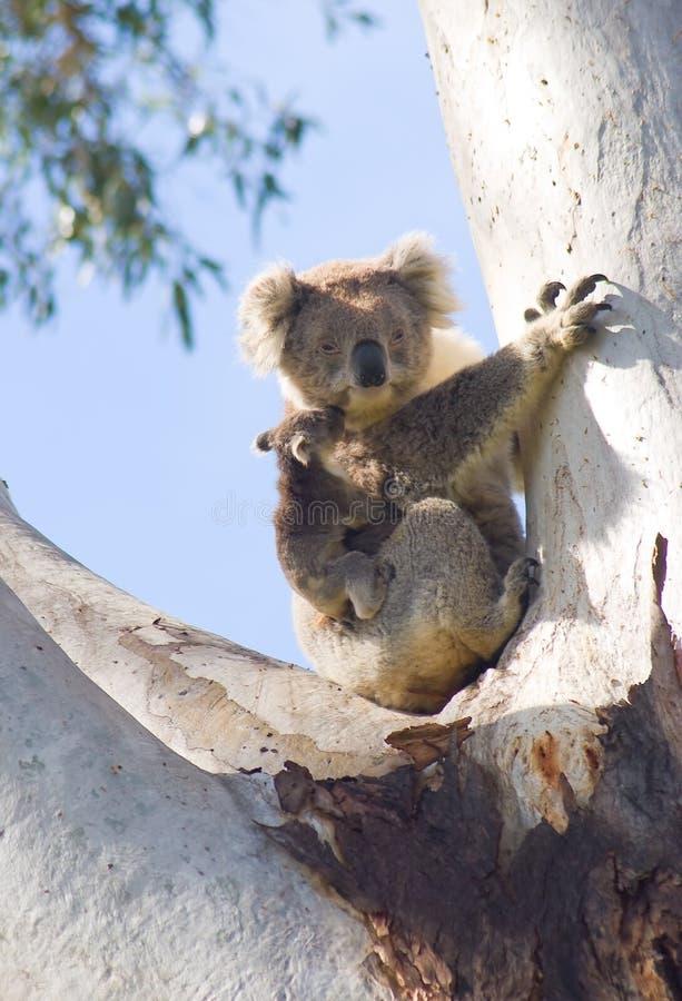 Koala und Schätzchen lizenzfreie stockfotografie