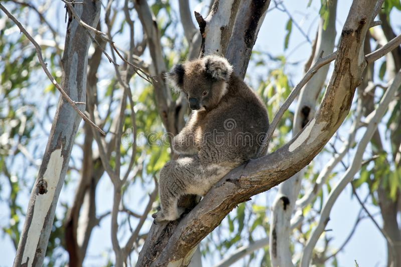 Koala vers le haut d'arbre photo stock