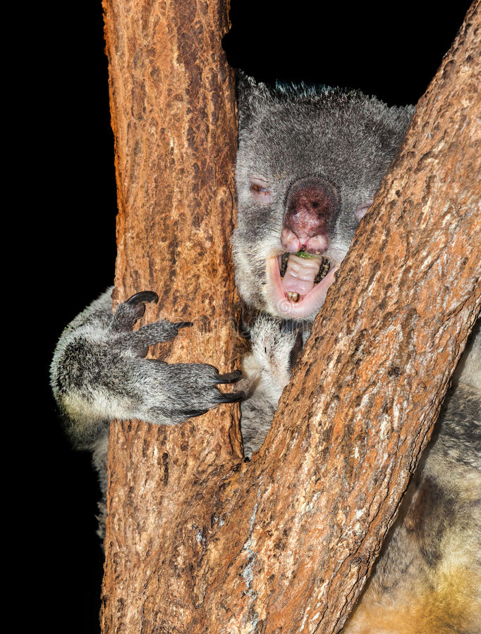 Koala with virus. Koala in gum tree, they sleep most of the time this one has Koala retrovirus (KoRV) is a retrovirus that is present in many populations of royalty free stock photos