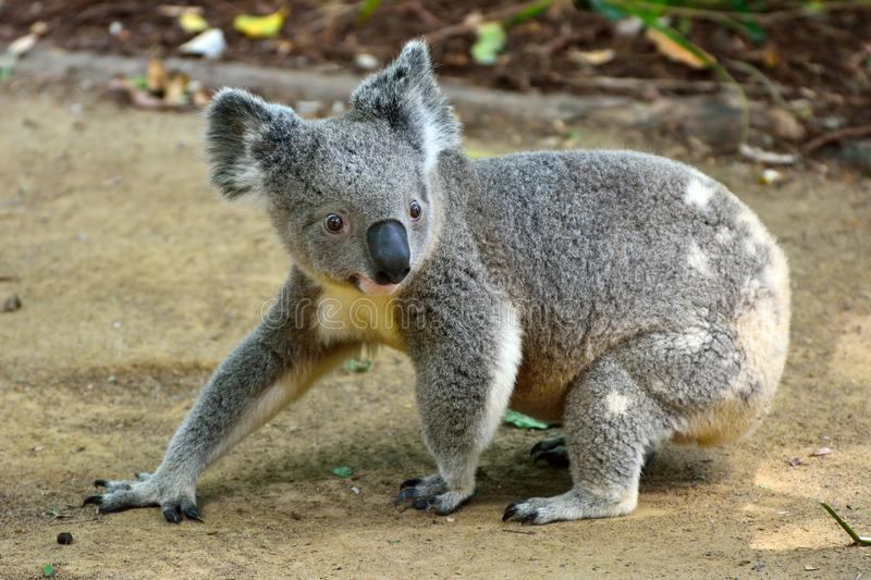 Koala walking on the ground. In Queensland, Australia royalty free stock images