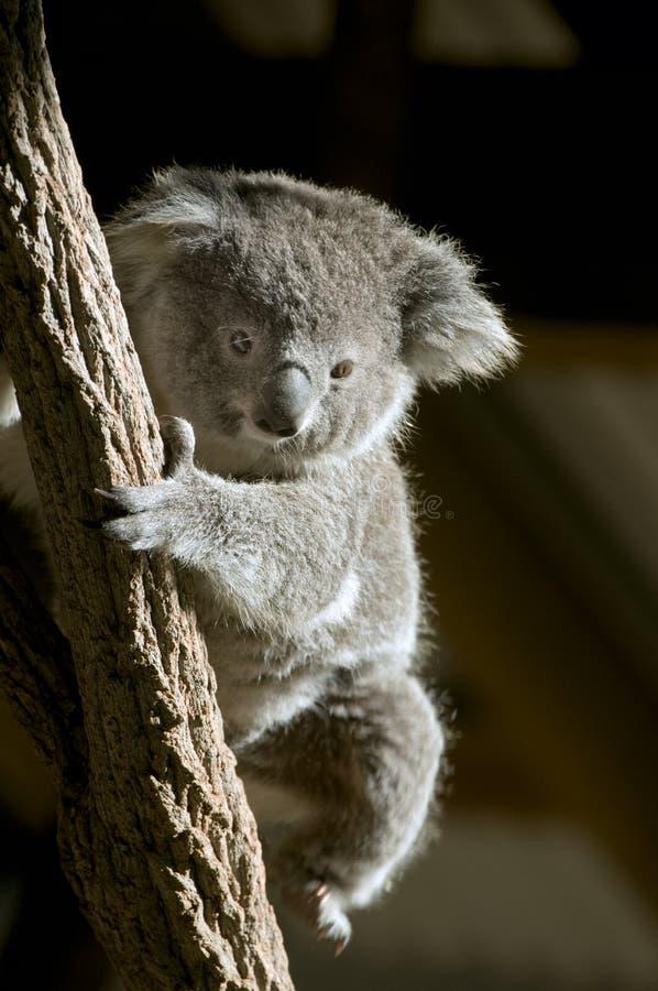 Koalabär stockfotos