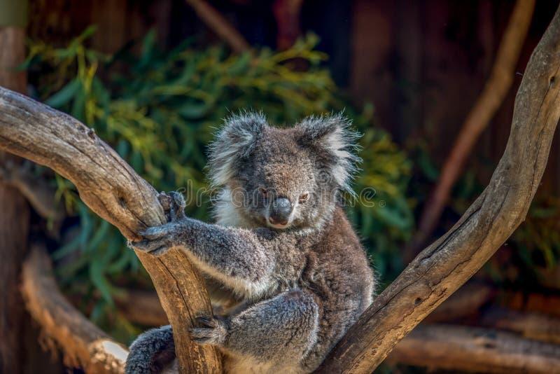 Koalabär im Baum lizenzfreies stockfoto