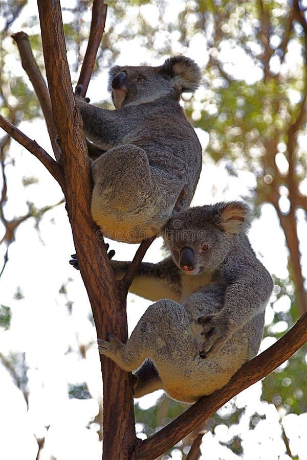 Koalabären lizenzfreie stockfotos