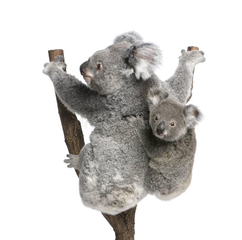 Koalabären, die Baum gegen weißen Hintergrund steigen lizenzfreies stockbild