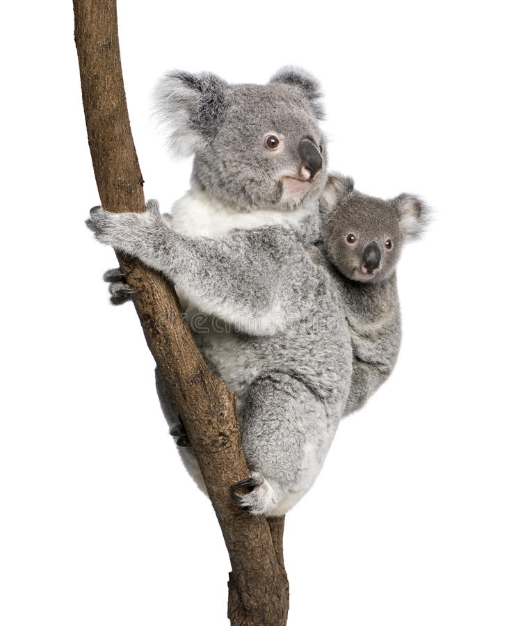 Koalabären, die Baum gegen weißen Hintergrund steigen lizenzfreies stockfoto