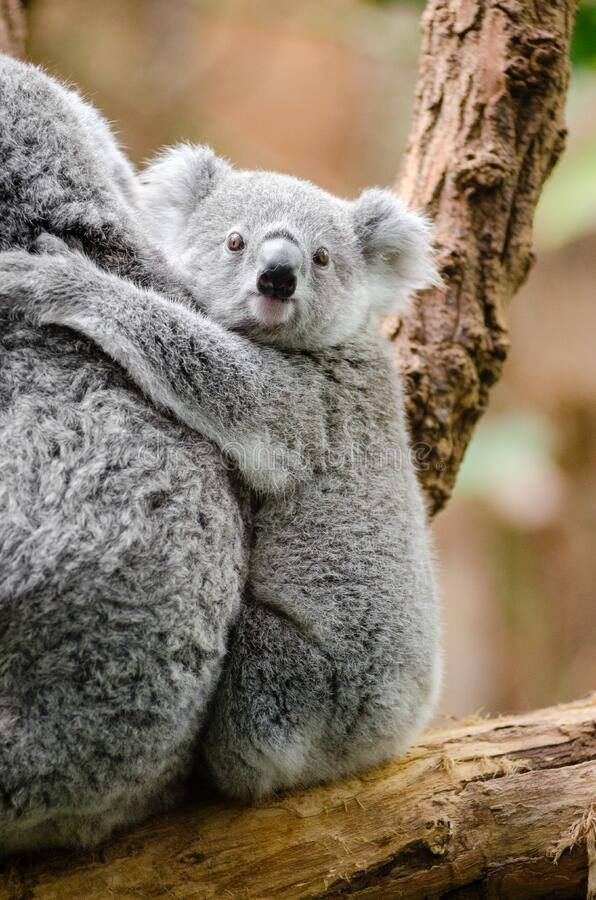 Koalababy stockfoto