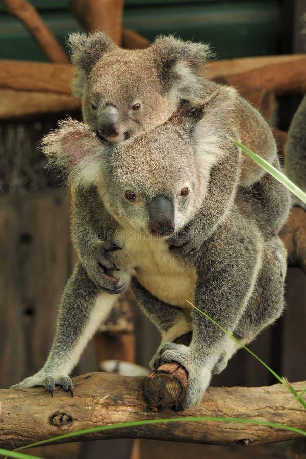 Koalamamma mit joey auf ihr zurück lizenzfreie stockbilder