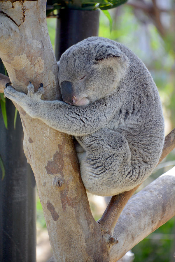 Koalan fotografering för bildbyråer