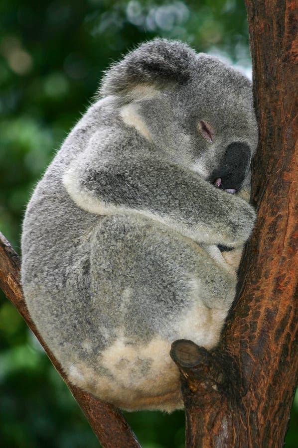 Koalan krullade upp sovande i gaffeln av ett träd arkivfoto
