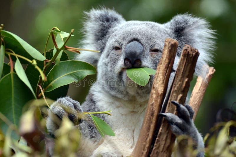 Koalan på ensamt sörjer fristaden i Brisbane, Australien arkivbild