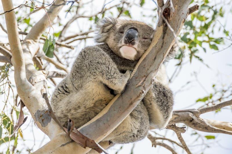 Koalan som klamra sig fast intill en hög filial, ser ner med ett öppet öga och stängt ett, känguruön, sydliga Australien royaltyfria bilder