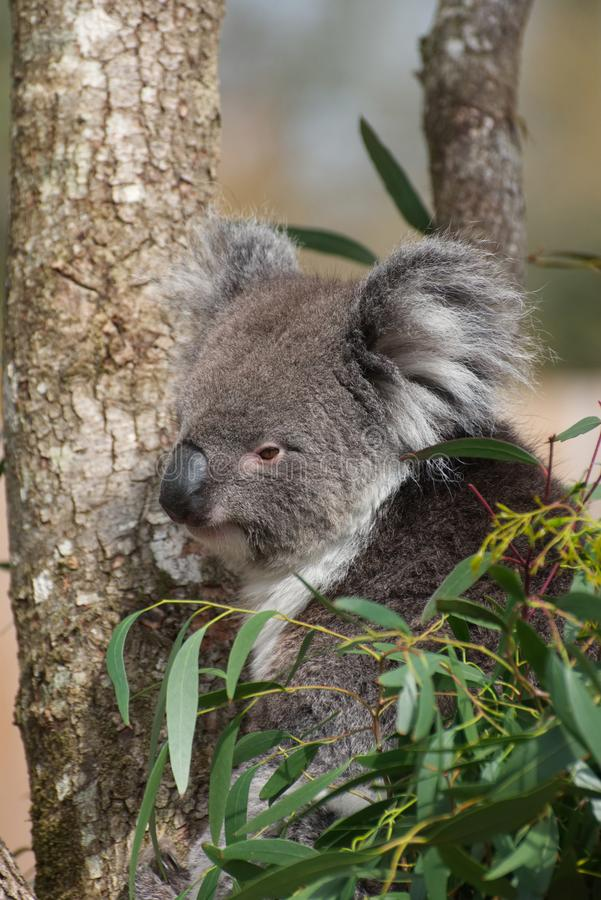 KoalaPhascolarctoscinereus fotografering för bildbyråer