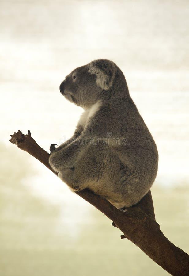 Koalaprofil arkivfoton