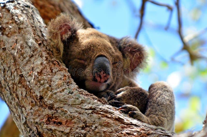 Koalasömn på ett träd arkivbild