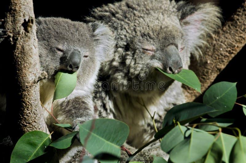 Koalas imagem de stock