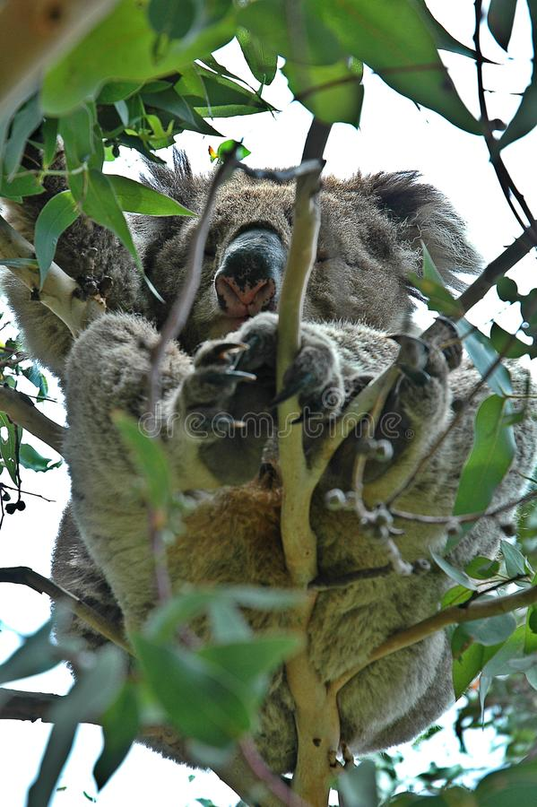 Koalas in Australia. Without fear of making mistakes, we can affirm that the koala is a kind of badge, symbol of Australia even above the kangaroo, or its small stock photo