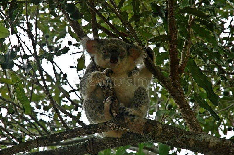 Koalas in Australia royalty free stock photos