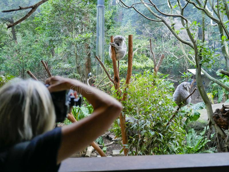Koalas on display stock photography