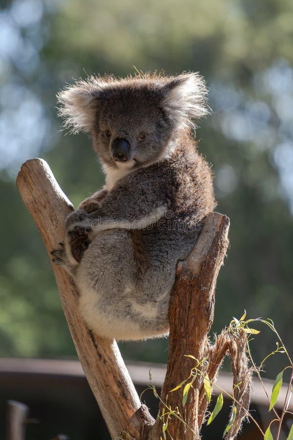 Koalasammanträde i trädet som framåt ser rakt royaltyfri foto