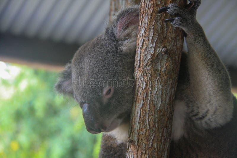 Koalasammanträde på ett eukalyptusträd arkivbilder