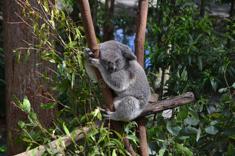 Koalaslaap op eucalyptusboom royalty-vrije stock afbeeldingen