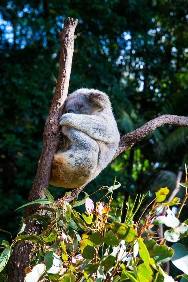 Koalaslaap tussen twee houten lidmaten in het Australische behoudsbos, Phascolarctos-cinereus stock fotografie