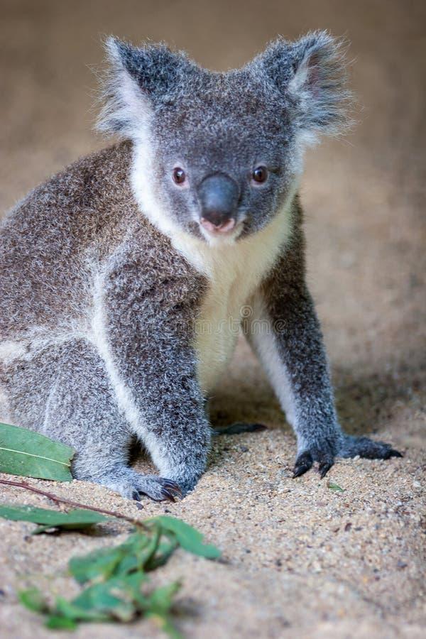 Koalazitting in zand het vooruitzien stock afbeeldingen