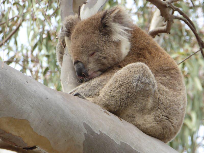 Koali drzemanie w eukaliptusie w Tobie Yangs regionalności park, Australia obrazy royalty free