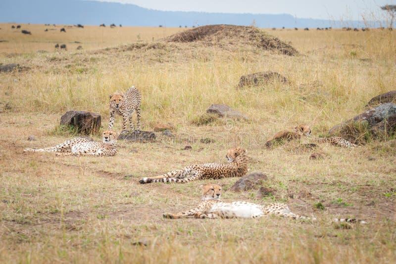 Koalition von den Geparden, die während der Gnumigration sich entspannen stockfotos