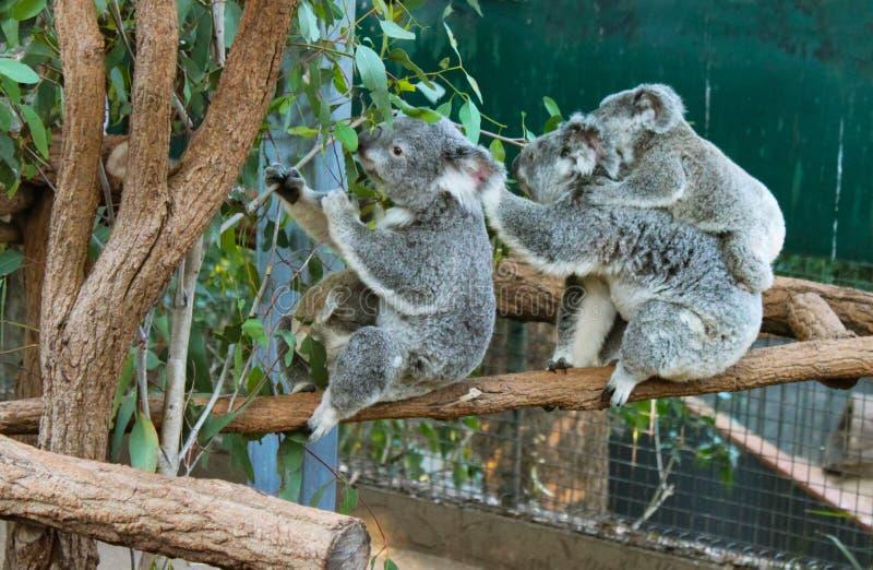 Koalor som äter eukalyptussidor inklusive moder med, behandla som ett barn på henne tillbaka royaltyfri foto