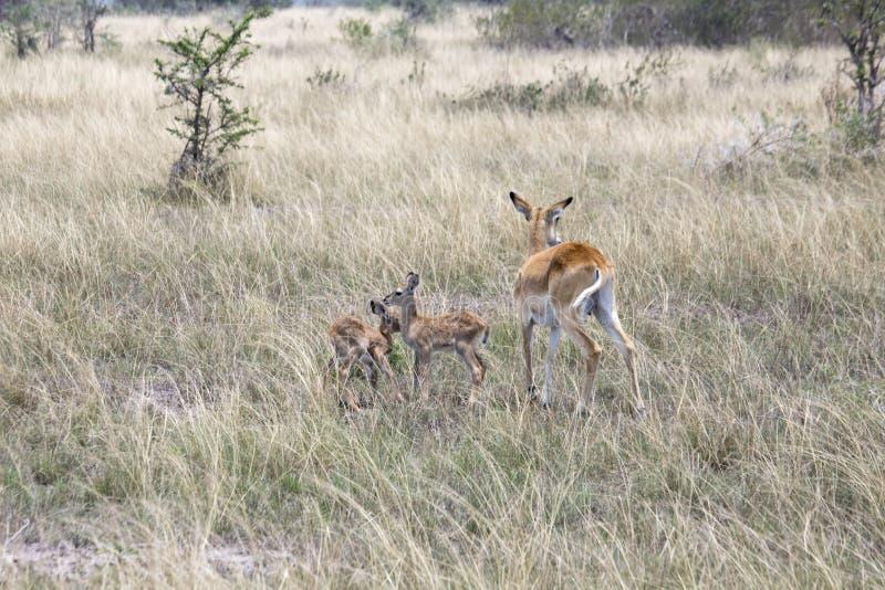 Kob family, Queen Elizabeth National Park, Uganda stock images