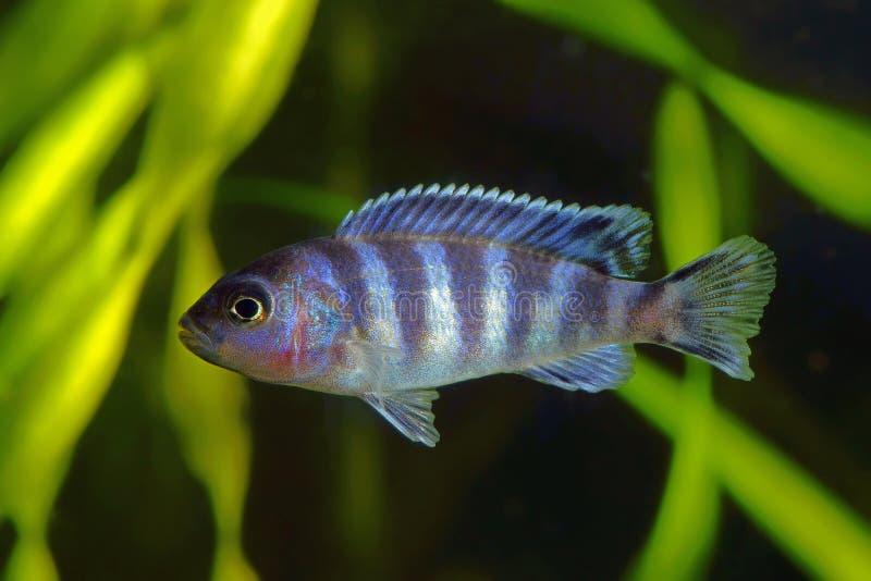 Kobalt Blauwe Gestreepte Cichlid stock foto's