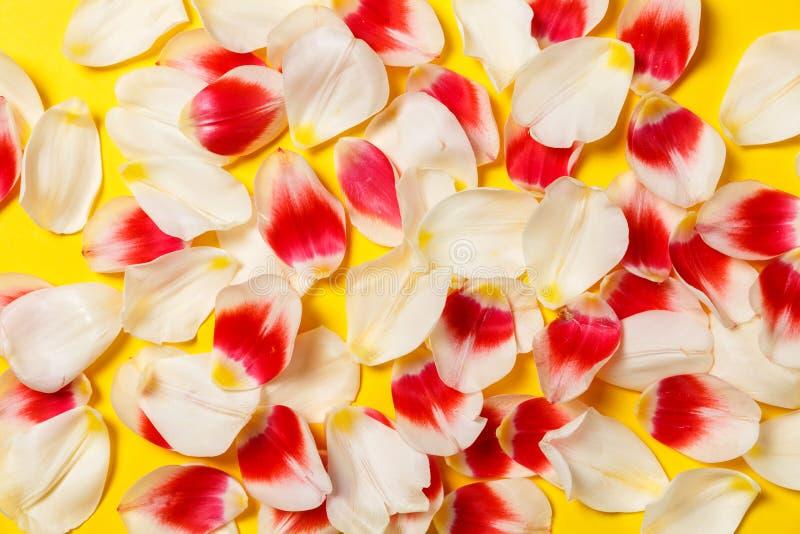 Kobiecy elegancki egzamin próbny z w górę tulipanowego kwiatu, płatki Odbitkowa przestrzeń dla twój projekta, śluby, zaproszenia, zdjęcia stock