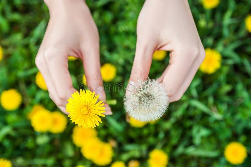 Kobiet ręki trzyma wiosna kwiatów zamknięty up obrazy royalty free