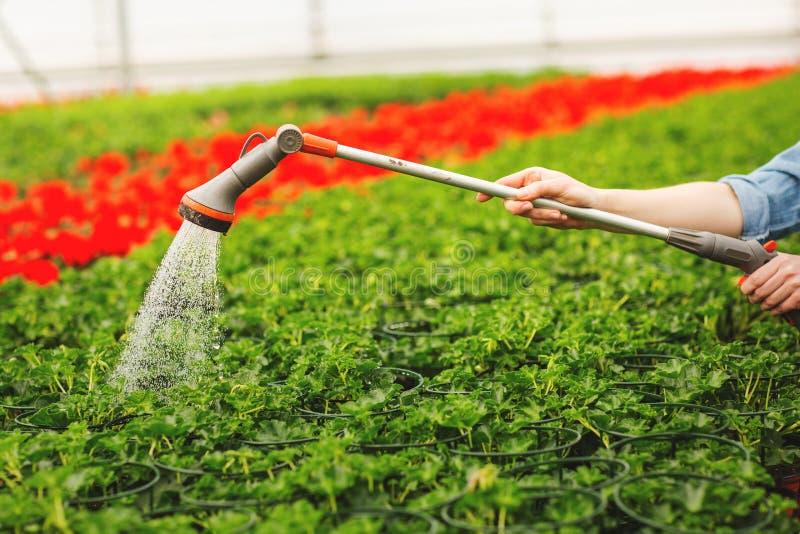 Kobiet r?ki nawadnia kwiaty i ziele? li?cie w ogr?dzie obraz stock