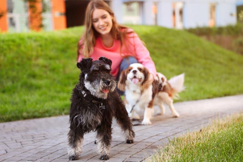 Kobieta chodzi Miniaturowego Schnauzer i kawalerów królewiątko Charles wewnątrz spaniela psy fotografia royalty free