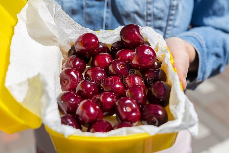 Kobieta daje lunchbox z świeżymi dojrzałymi smakowitymi wiśniami Dziewczyny ręki mienia pudełko z organicznie słodkimi jagodami Z obrazy royalty free