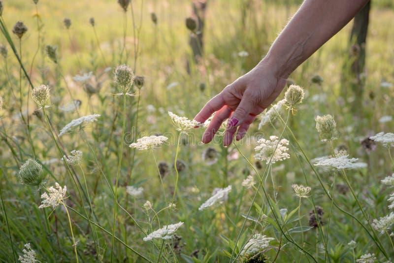 kobieta dosięga out królowych annes koronki kwiaty w polu i dotyka zdjęcie stock