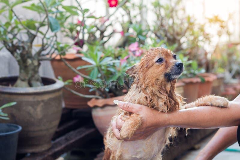 Kobieta kąpać się psa dla pomeranian psa, piękny mały pies fotografia royalty free