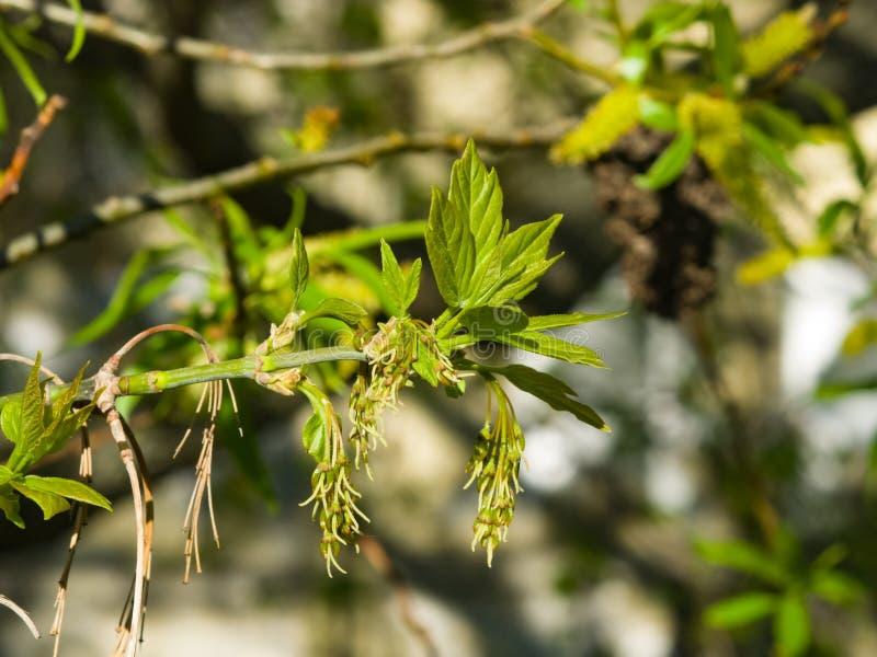 Kobieta kwitnie na gałęziastym liściastym klonie, Acer negundo, makro- z bokeh tłem, selekcyjna ostrość, płytki DOF obrazy royalty free