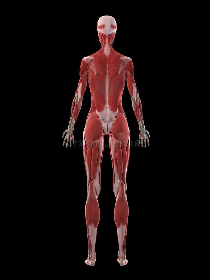 Kobieta mięśnia system ilustracja wektor