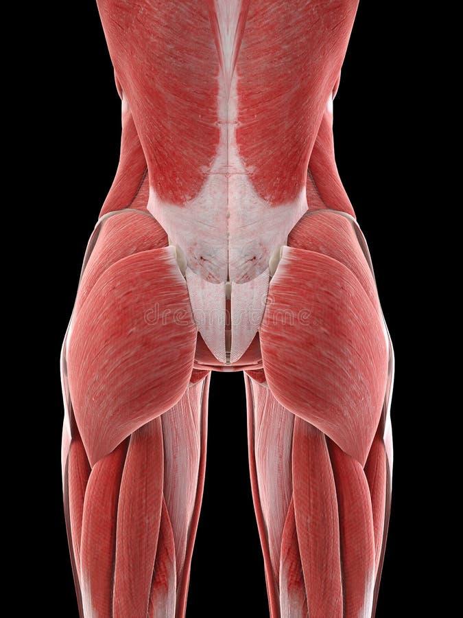 Kobieta mięśnie ilustracji