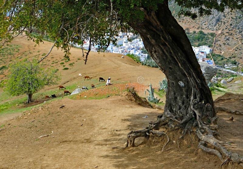 Kobieta miewa skłonność kózki pod craggy drzewem na wzgórzu na zewnątrz Chefch zdjęcia stock