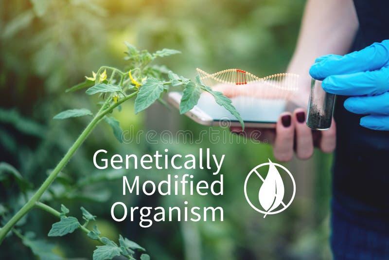 Kobieta naukowa genetyczny inżynier bada rośliny dla obecności genetyczna modyfikacja Organizmy zanieczyszczający z GMO zdjęcie royalty free
