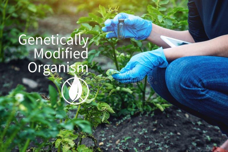 Kobieta naukowa genetyczny inżynier bada rośliny dla obecności genetyczna modyfikacja Organizmy zanieczyszczający z GMO obrazy stock