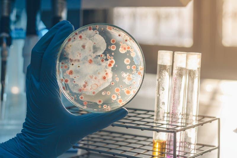 Kobieta naukowiec trzyma Petri naczynia ziemi mikroorganizmy na od?ywka agarze w laboratorium obrazy royalty free
