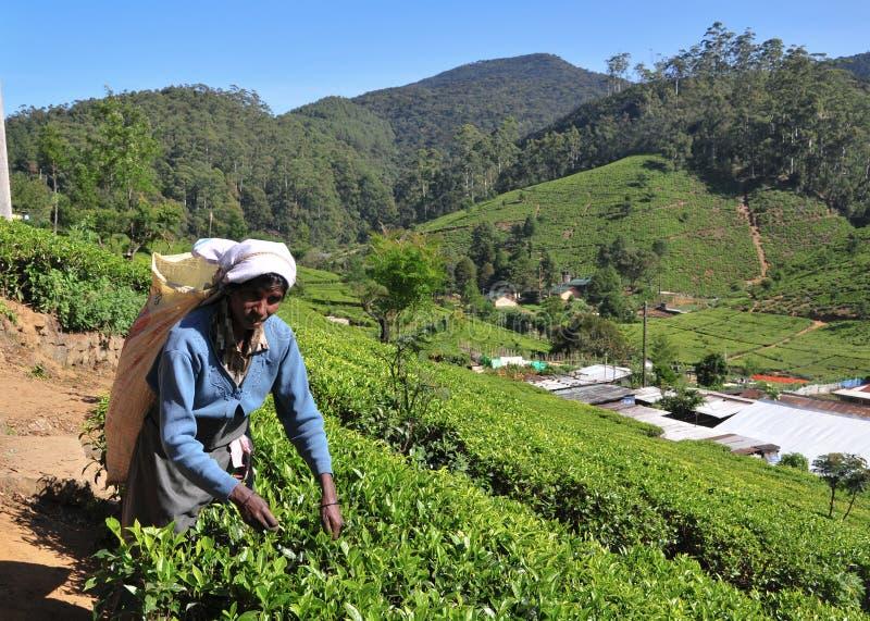 Download Kobieta Pracuje W Herbacianej Plantaci Zdjęcie Editorial - Obraz złożonej z praca, średniogórze: 53783926