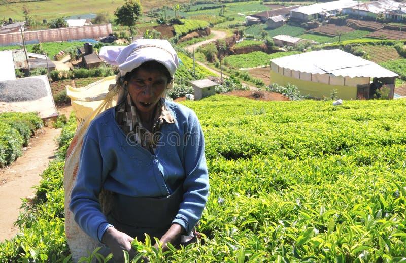 Download Kobieta Pracuje W Herbacianej Plantaci Fotografia Editorial - Obraz złożonej z kultywacja, farm: 53784127
