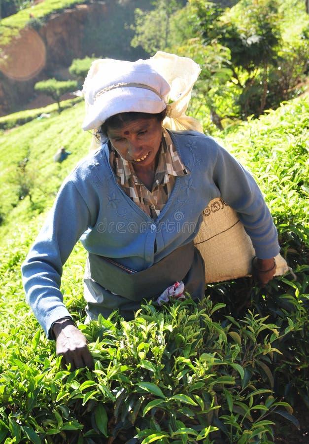 Download Kobieta Pracuje W Herbacianej Plantaci Zdjęcie Stock Editorial - Obraz złożonej z wybór, nieruchomości: 53784138