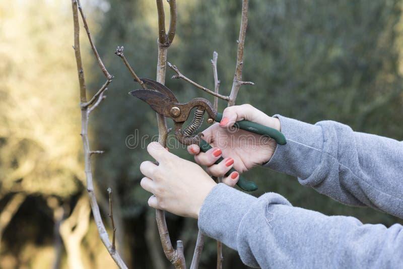 Kobieta przycina drzewa obrazy stock